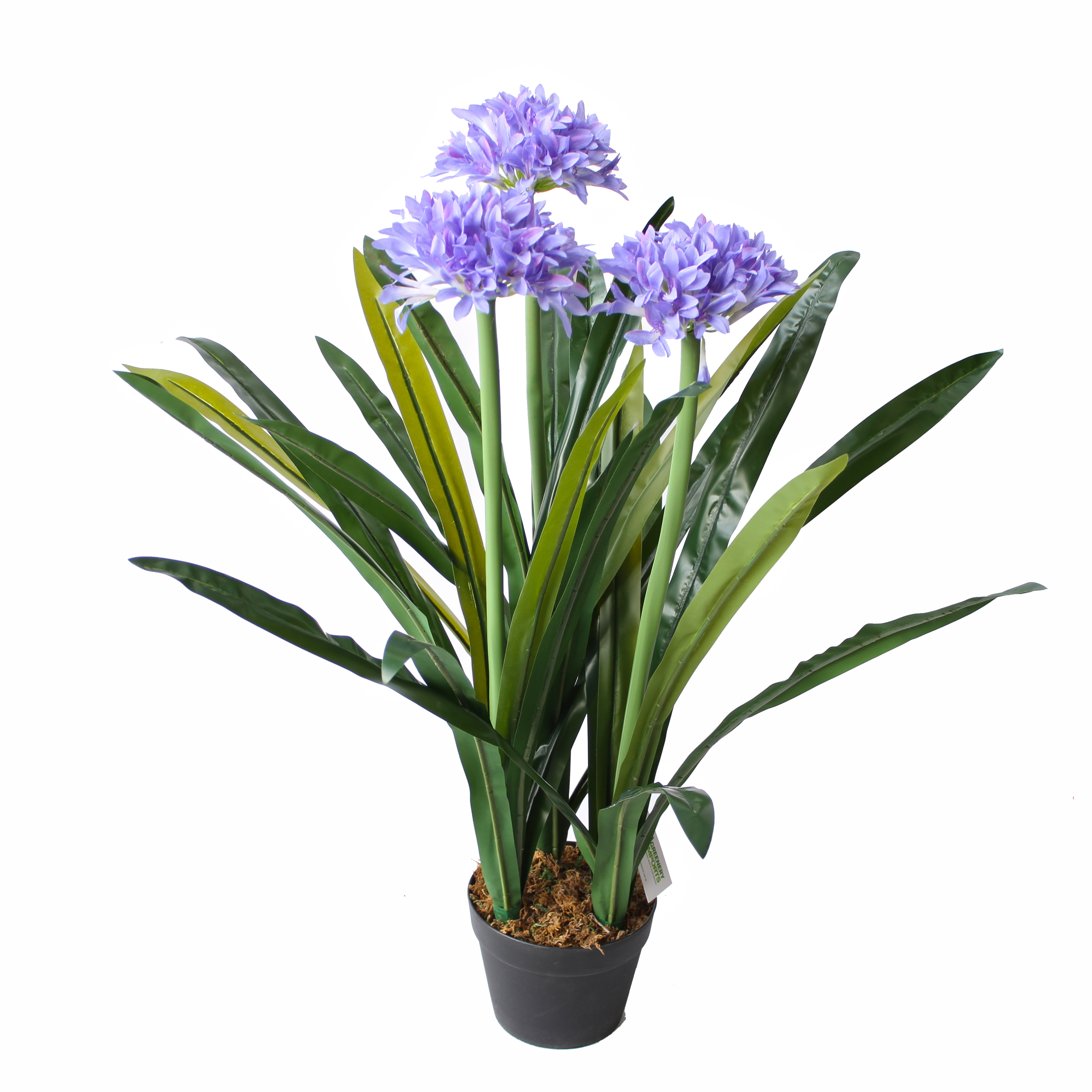 28 best houseplants agapanthus the lily of the nile for Plantes online