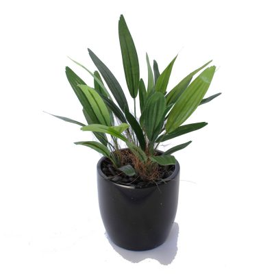 ARTIFICIAL RAPHIS PALM 28CM COMPLETE WITH FIBREGLASS POT